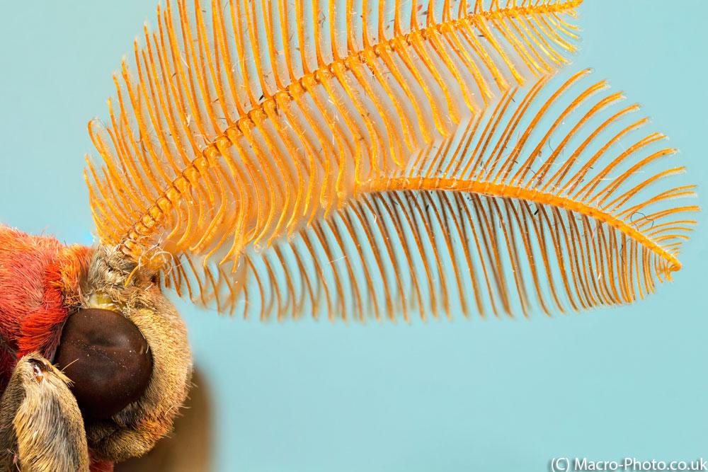 Atlas Moth Attenna