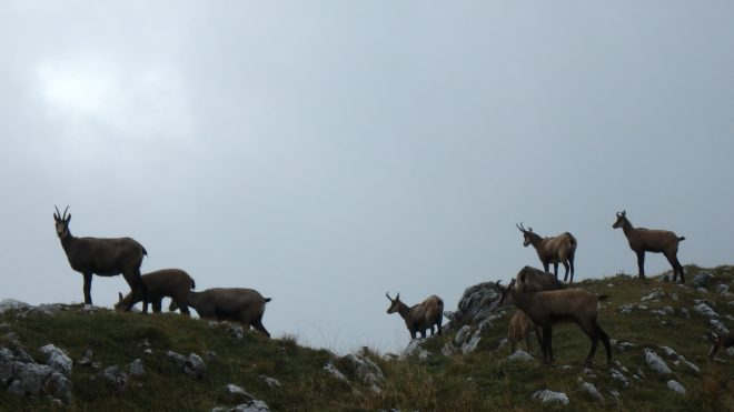Chamois approaching the cliff edge