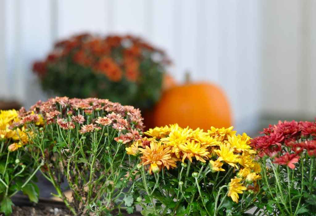 Fall mums on the porch