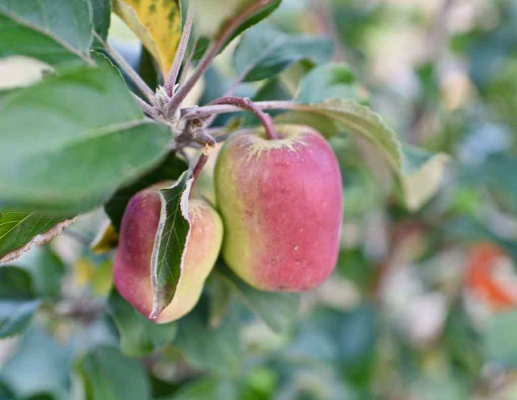 Grow fruit trees for a natural lifestyle
