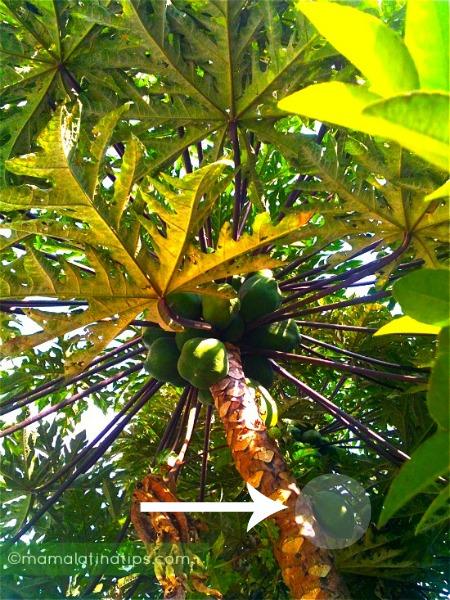 low hanging fruit papaya fruit