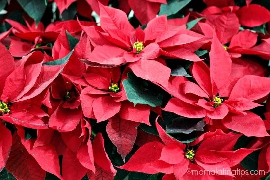 50,000 Poinsettias