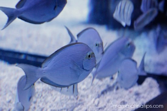 Blue fish at ¡Viva Baja! Exhibition at Monterey Aquarium - mamalatinatips.com