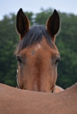 Paard Retto