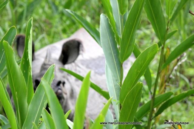 The one-horned rhinoceros