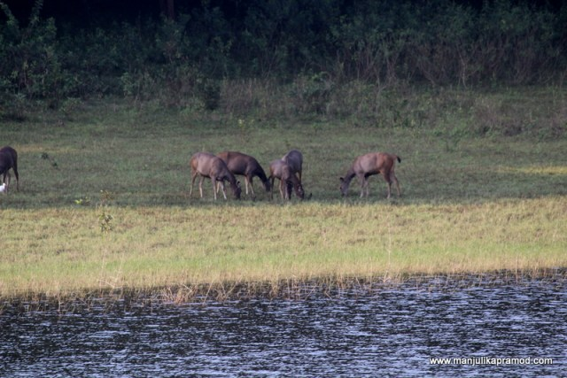 Animals, Deer, Sambha, Periyar
