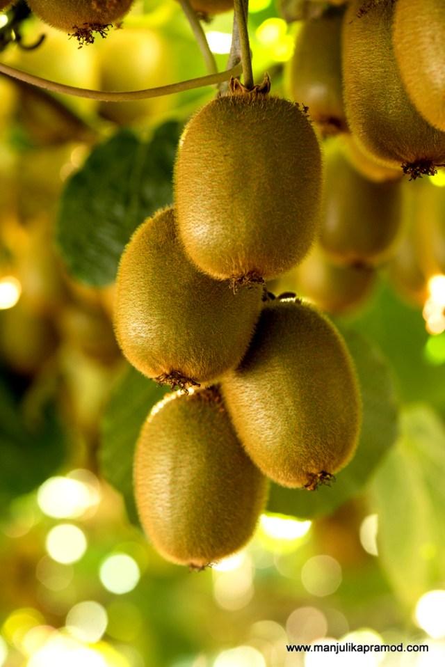 Kiwifruit, tree, Pro Chile