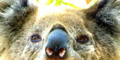 Kennet River Koalas