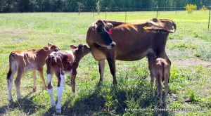 Nursing Cow and Calves