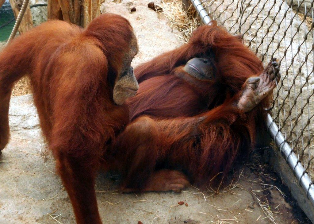 greetje_olde_hanhoff_unfamiliar_orangutan