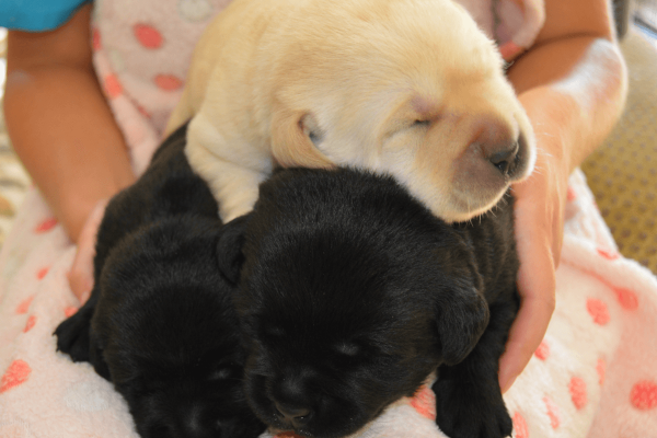 3 Labrador Puppies