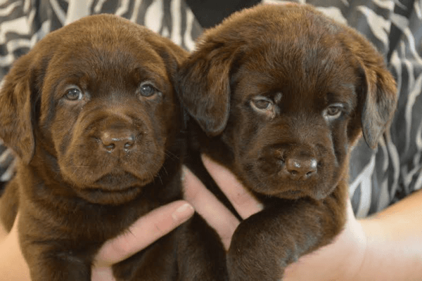 MarshyHope chocolate pups