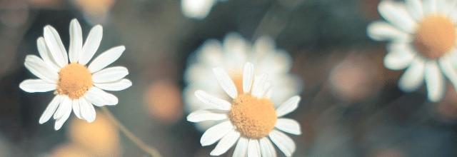 stokrotka stokrotki kwiatki