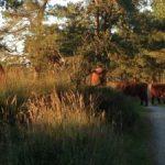 wilde-koeien-300x225