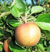 Norsk eplefest på Gvarv (klikk på bildet)