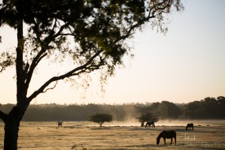 New Forest Ponies at sunrise in Hollands Wood
