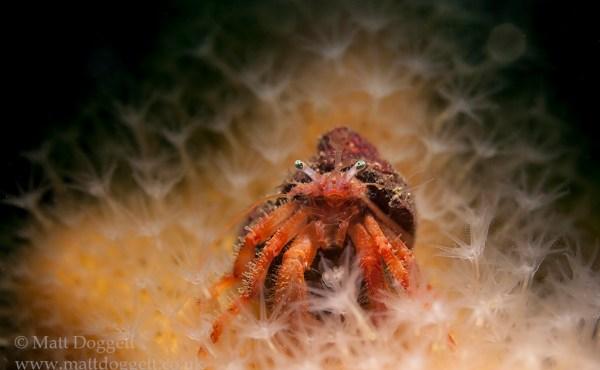 Hermit crab, Pagurus bernardus, Loch Carron, Scotland
