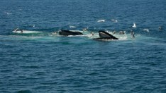 Humpback whale feeding attracts sea birds