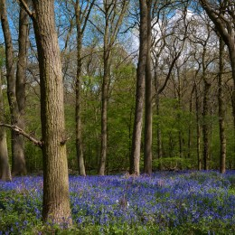 Maulden Woods in Spring