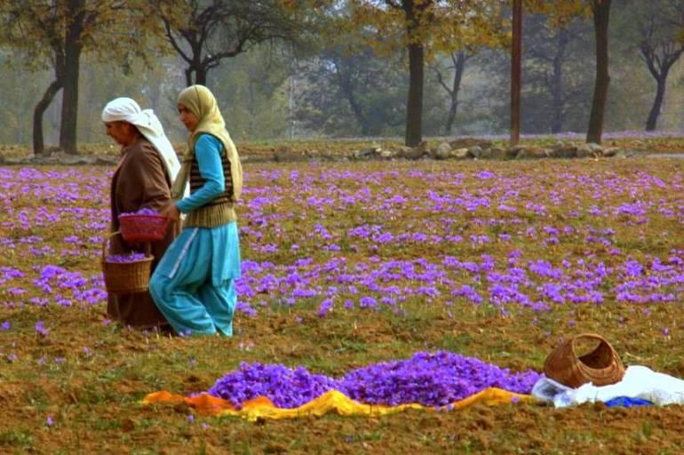 A saffron autumn in Pampore