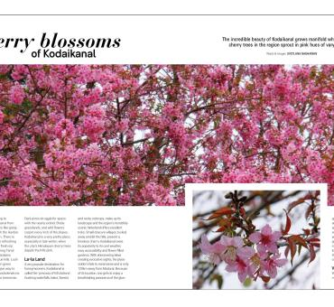 Cherry Blossoms of Kodaikanal in Trujetter September October 2017