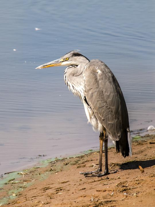 Free photo Animal Bird Heron Grey Heron Water Bird Nature   Max Pixel Heron  Grey Heron  Bird  Water Bird  Nature  Animal