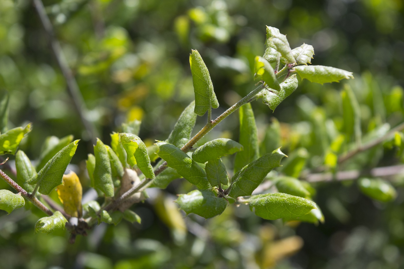 Pristine Coast Live Oak Is An Evergreen Tree Leaves That Shade Ground When Looking Native Plant Series Coast Live Oak Woodlands A Dense Which Is Layer Branches houzz-02 Live Oak Leaves