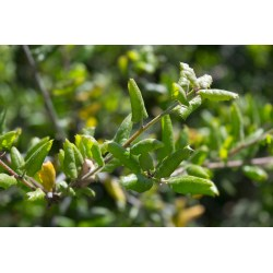 Small Crop Of Live Oak Leaves