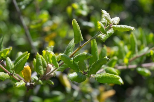 Medium Of Live Oak Leaves