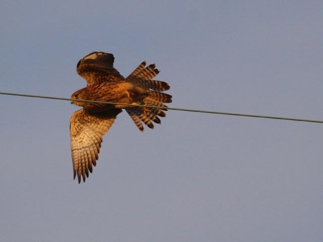 チョウゲンボウ3-2010-12-19