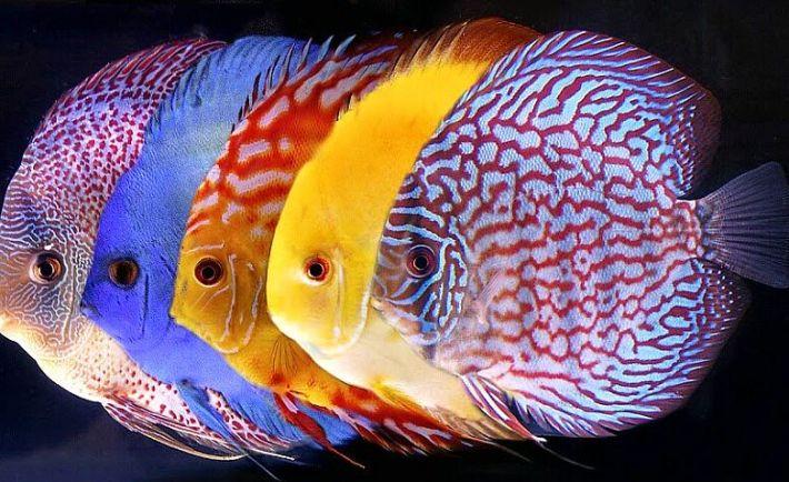 Aneka Ikan Hias Air Tawar