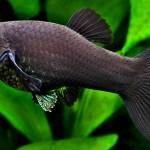 Ikan Pemakan Lumut Untuk Aquascape