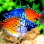 Mengenal Ikan Rainbow Boesemani, Pelangi Penghias Akuarium