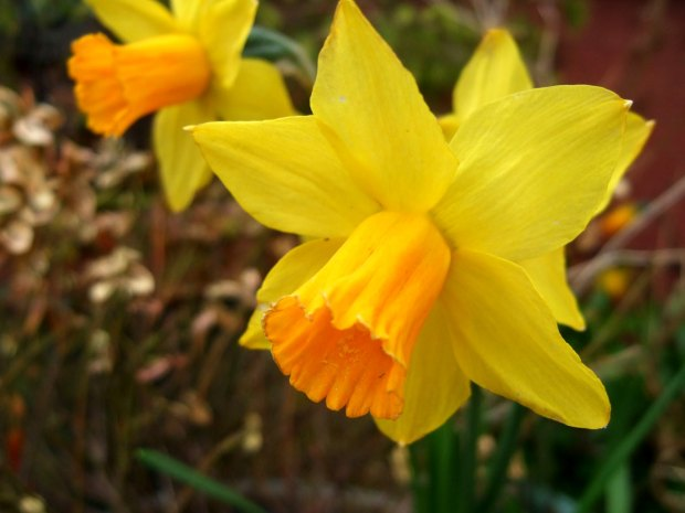 little-daffs