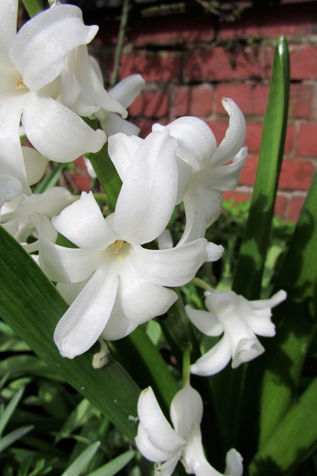 whitehyacinth