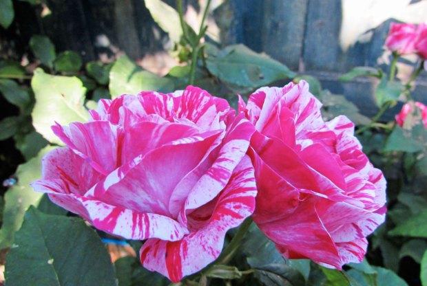 ferdinand-pichard-rose