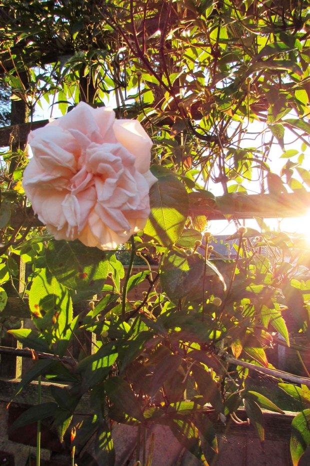 sunset-rose