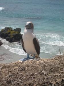 Pata azul (blue-footed booby) at La Isla de la Plata, Ecuador