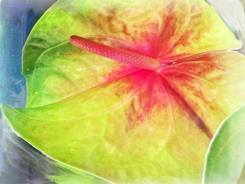 Anthurium © lynette sheppard