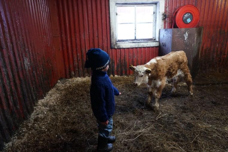 Hjalmar försöker klappa en kalv
