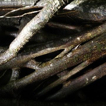 Strangling Ficus