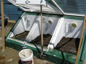 Wheat grass in the cold frame