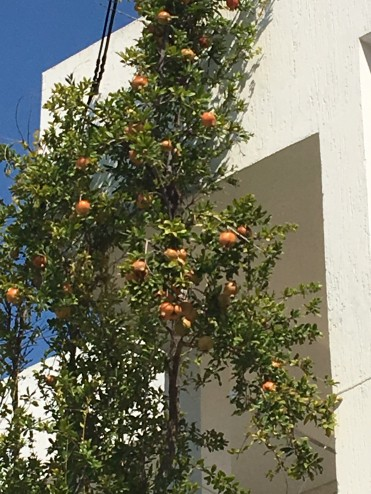 A pomegranate tree in Koilas