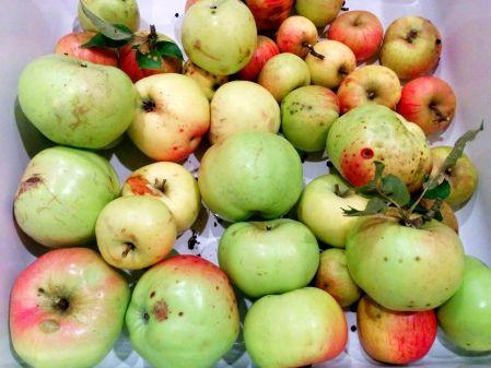 תפוחים בקצה היער /קרפצ'יו תפוחים וצנוניות/סלט תפוחים בצל והרינג/כיסי בצק עם תפוחים וגבינה כחולה/גאלט תפוחים