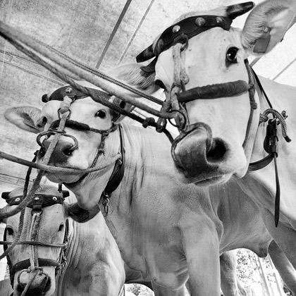 La Vacca Chianina