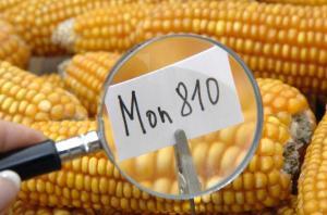 Mon810 maíz transgénicos monsanto