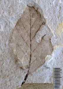 Miocene Nothofagus leaf fossil from Bannockburn,New Zealand