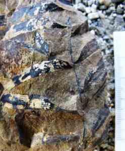 New Zealand Podozamites