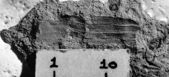 Probably my first Miocene fossil Equisetum. It's from Bannockburn and remains unpublished. From 1-10 is 10 mm.