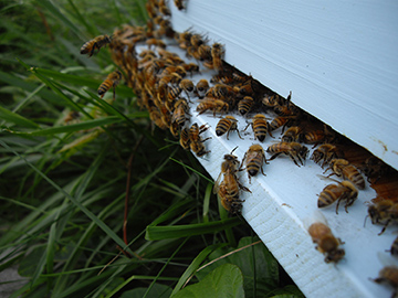 Busy entrance to an active hive, courtesy of Victory Bees